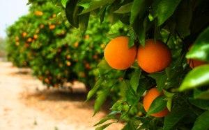 citrus-bg
